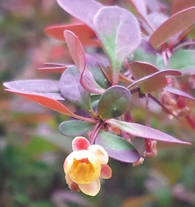 Barberry flower