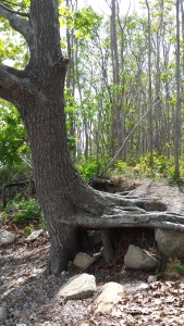 Sideways tree roots