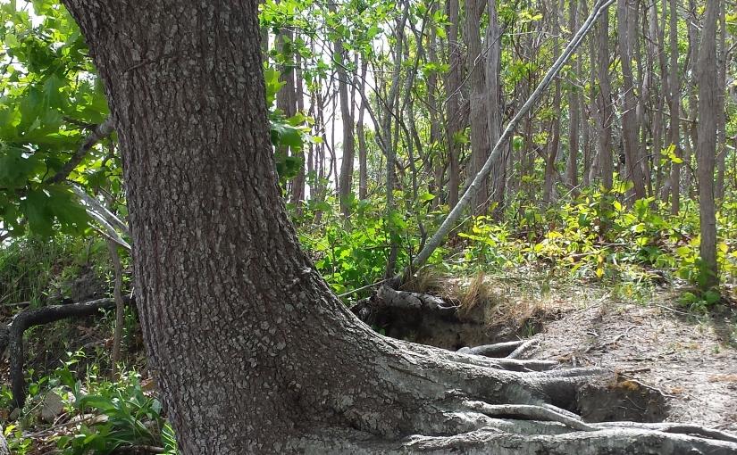 Sideways tree roots