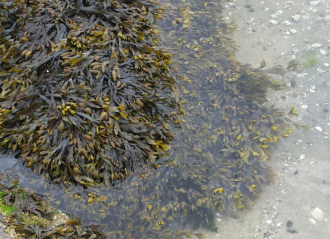 Spiralled Wrack Seaweed