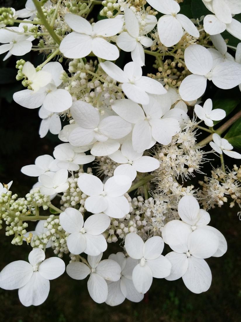 Panicled Hydrangea Blooms