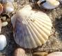 Cape Cod Scallop Shell