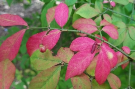 Autumn Burning Bush Leaves and Fruit