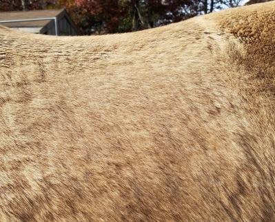 Horse growing winter coat