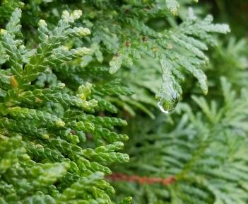 Water droplet on cedar tree