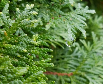 Water droplet on cedar tree