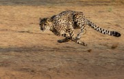 cheetah-2859581_1280 (1)