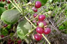 Mustard Bush Berries